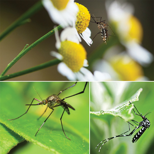 Natural tricks to stop mosquito breeding in your garden