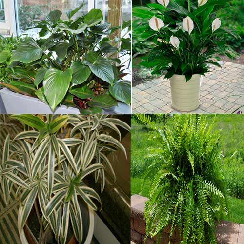 Keep these 5 Indoor plants to clean air of your home , keep these indoor plants to clean air of your home,  list of indoor plants to clean air of your home,  what plants to grow to clean air,  which plants clean the environment,  ifairer