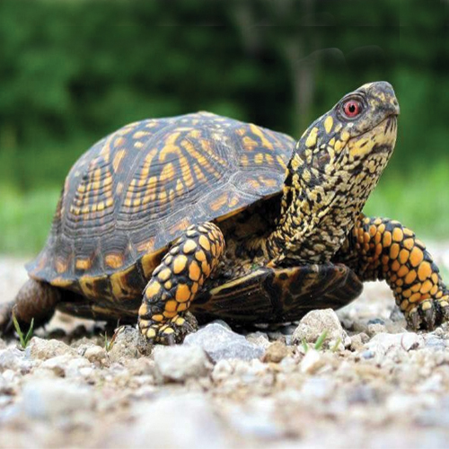 5 Vastu tips: How the tortoise bring peace and prosperity in your life, vastu tips,  how the tortoise bring peace and prosperity in your life,  vastu tips for tortoise for long life and prosperity,  how to take care of turtle in vastu shastra,  importance of tortoise in vastu,  vastu tips,  home decor,  ifairer