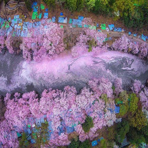 Breathtaking views of sakura or cherry blossom flowers in Japan, breathtaking views of sakura in japan,  check out breathtaking views of sakura in japan,  have a look on views of sakura in japan,  mesmerizing view of sakura in japan,  breathtaking views of cherry blossom or sakura in japan,  ifairer