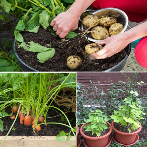 Vegetables to grow in a container easily, vegetables to grow in a container easily,  which vegetables can be grown in container,   name the vegetables that can be grown in a container,  know the vegetables which can be grown in a container,  check out these vegetables to grow in a container easily,  ifairer