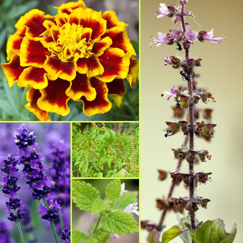 Fragrant plants that repel mosquitoes naturally, fragrant plants that repel mosquitoes naturally,  plants to keep away mosquito from house,  plants that repel mosquitoes naturally,  gardening,  ifairer