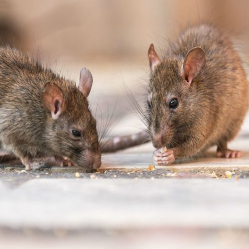 New invention: Japanese scientists plan to create human-mouse hybrids