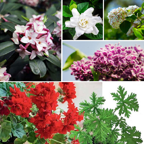 9 Air purifying fragrant indoor plants that keep in house in 2020, 9 air purifying fragrant indoor plants that keep in house in 2020,  fragrant plants,  aromatic indoor herbs that purify air naturally,  air purifying plants,  gardening,  ifairer