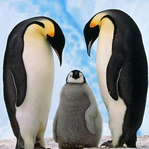 5 Love Lessons From Penguins, 5 love lessons from penguins, communication is key, appreciate your support network, be expressive, look after yourself, be faithful