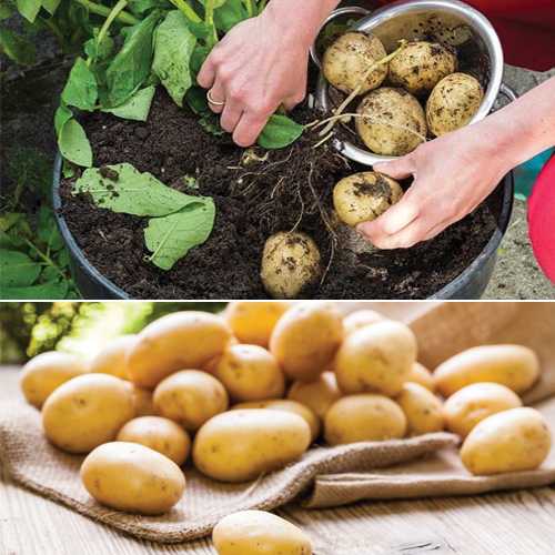 Beginners Guide: 10 Easiest Vegetables to Grow in a Pot, 10 easiest vegetables to grow in a pot,  growing vegetables in pots,  easiest container and pot friendly vegetables,  urban gardening with vegetables,  vegetables in containers,  growing vegetables in containers,  how to grow container vegetables,  decor,  gardening,  ifairer