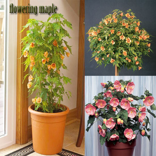 Flowering Maple Plants Indoors