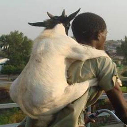 Man explains why he raped goat, man explains why he raped goat,  general article,  latest news,  sex,  rape,  latest news of goat rape,  sex with goat,  latest news of ifairer,  ifairer