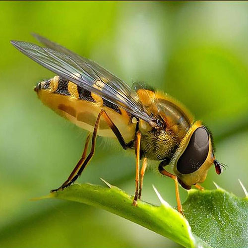 Origin of  Honey bees , origin of  honey bees,  honey bees originally from asia,  not africa,  honey bees,  general article,  study on honey bees,  real origin of honey bees,  honey bees history,  ifairer