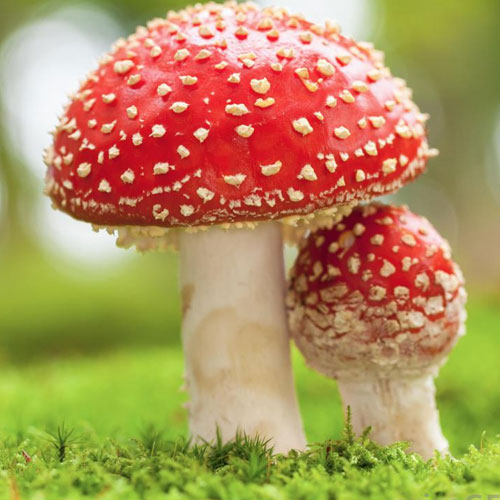 Mushrooms may cure deadly diseases, poisonous mushrooms may cure deadly diseases,  poisonous mushrooms could help batting deadly diseases,  poisonous mushrooms may help tackle deadly diseases,  poisonous mushrooms could help deadly diseases,  health tips,  health care,  health,  ifairer
