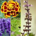 Fragrant plants that repel mosquitoes naturally