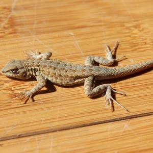 Natural home remedies to get rid of Lizards from your homes