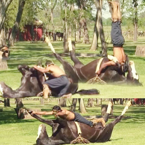 This is horse YOGA: Man doing handstand on them